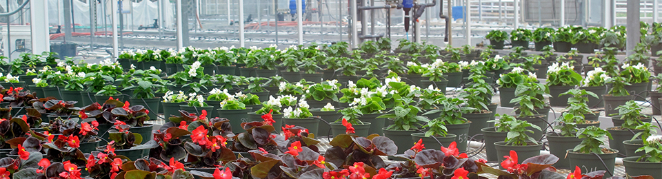 potted floriculture plants in a greenhouse