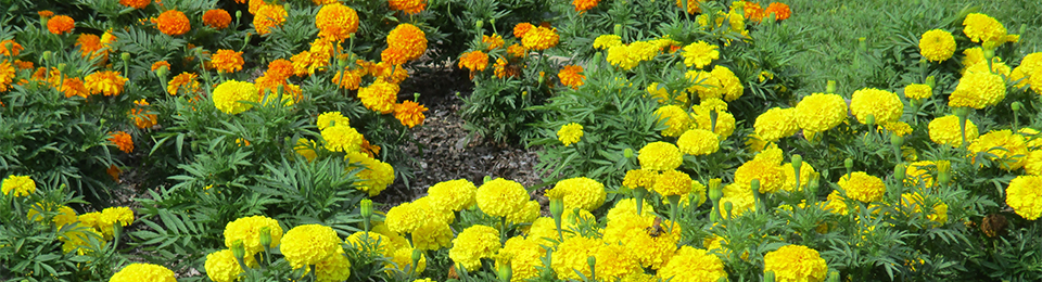 orange and yellow marigolds in flower bed
