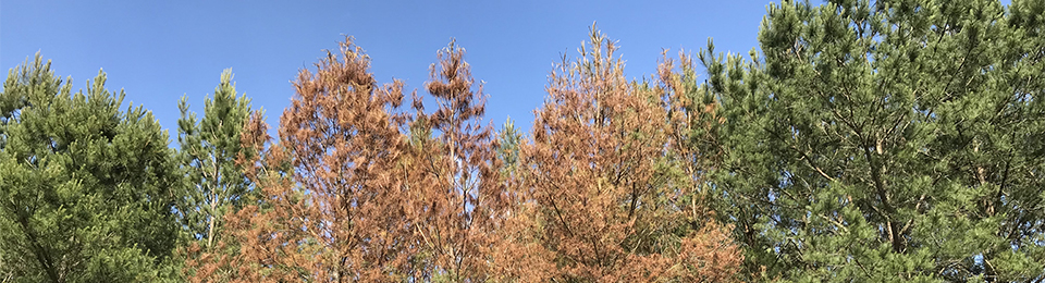 declining pines in a plantation