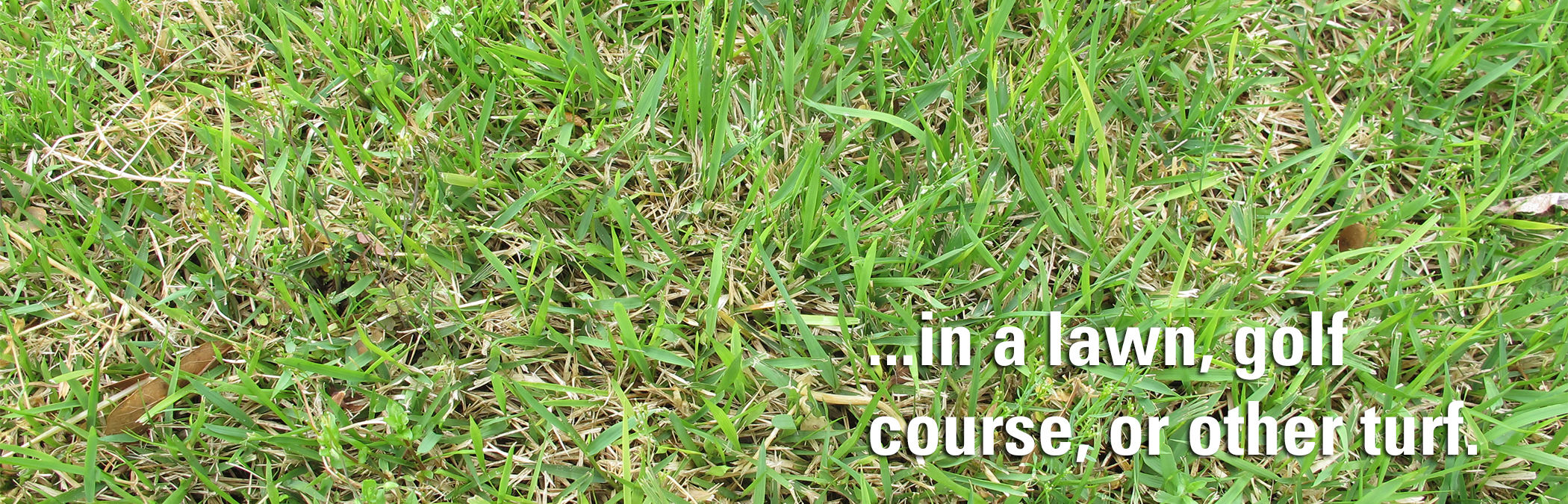 in a lawn, golf course, or other turf.