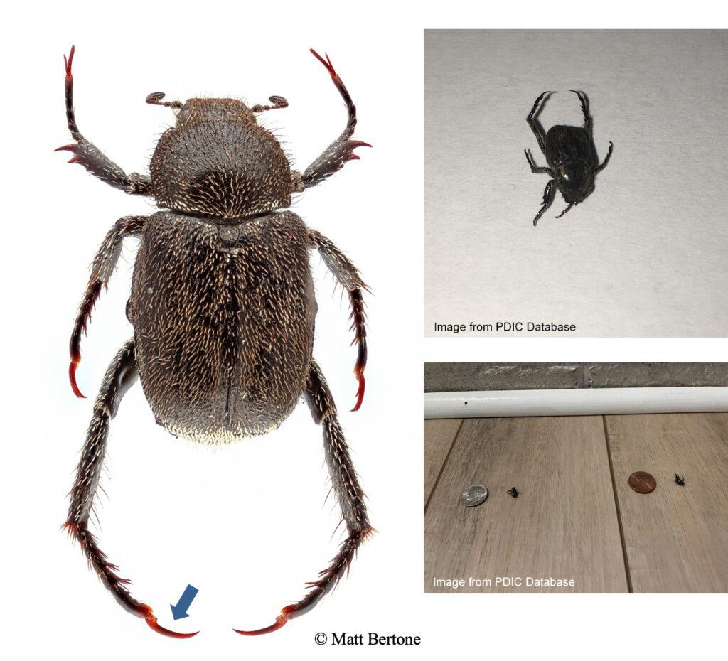 Dark Hoplia scarab beetle showing diagnostic single large claw on hind legs